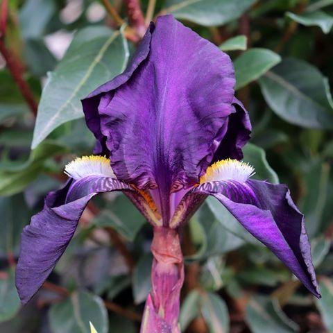Iris germanica 'Nepalensis'