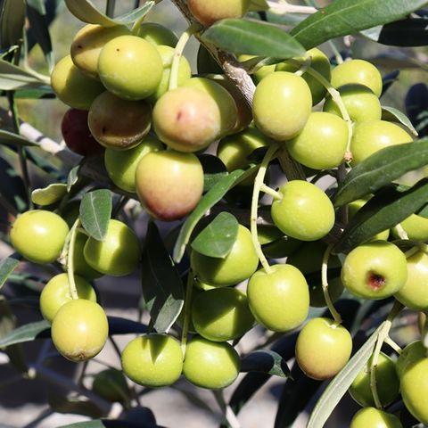 Olea europaea 'Garden Harvest'