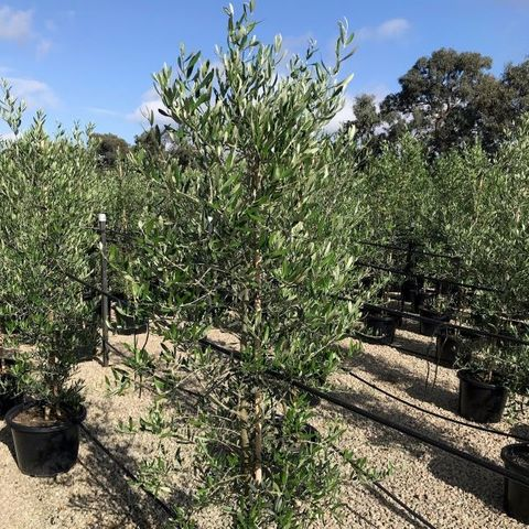 Olea europaea 'Tolleys Upright'