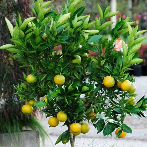 Orange Mediterranean Sweet