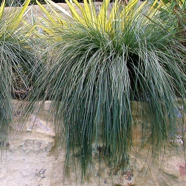 Lomandra confertifolia sp. rubiginosa 'Seascape'