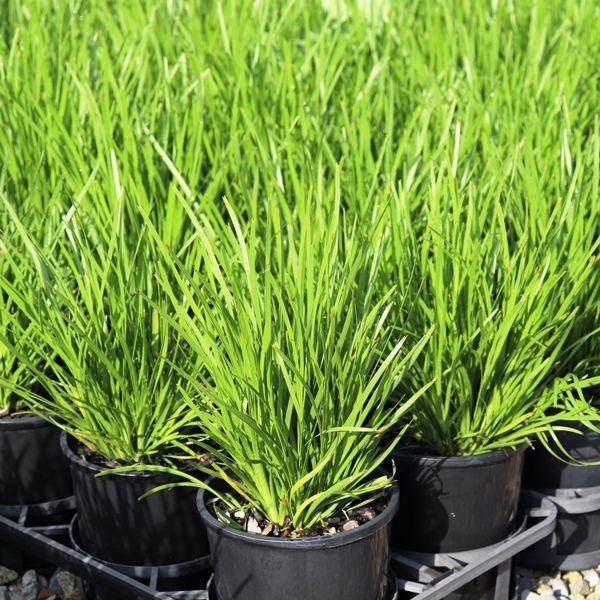 Lomandra confertifolia 'Trojan' pbr