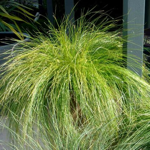 Lomandra cylindrica 'Lime Wave'