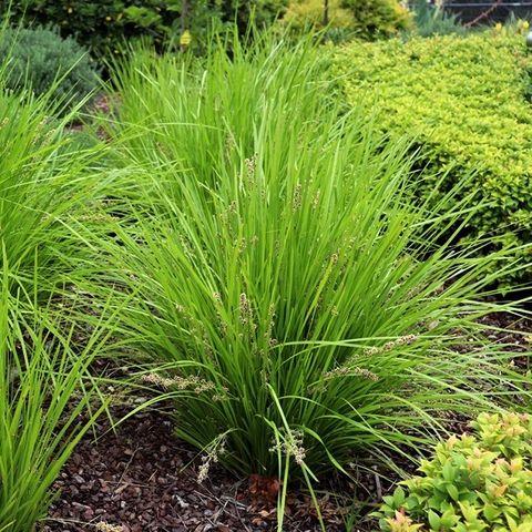 Lomandra longifolia 'Tanika' pbr