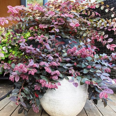 Loropetalum chinense 'Plum Gorgeous' pbr