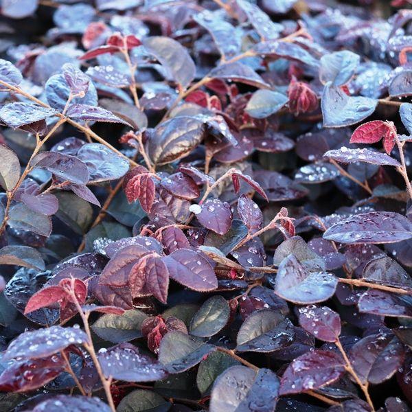 Loropetalum chinense 'Plum Gorgeous' pbr