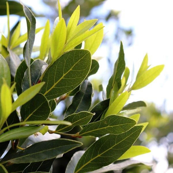 Laurus nobilis 'Miles Choice'