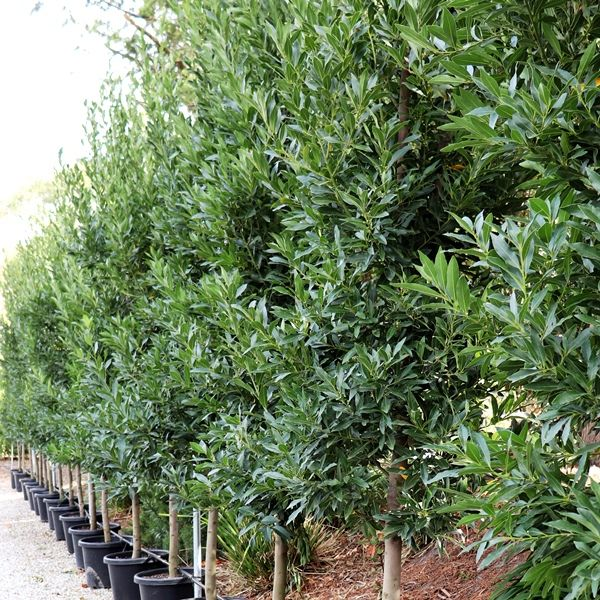Laurus nobilis 'Green Stem'