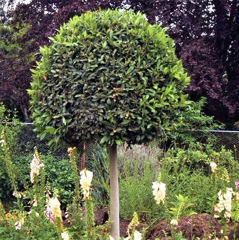 Laurus nobilis Standard