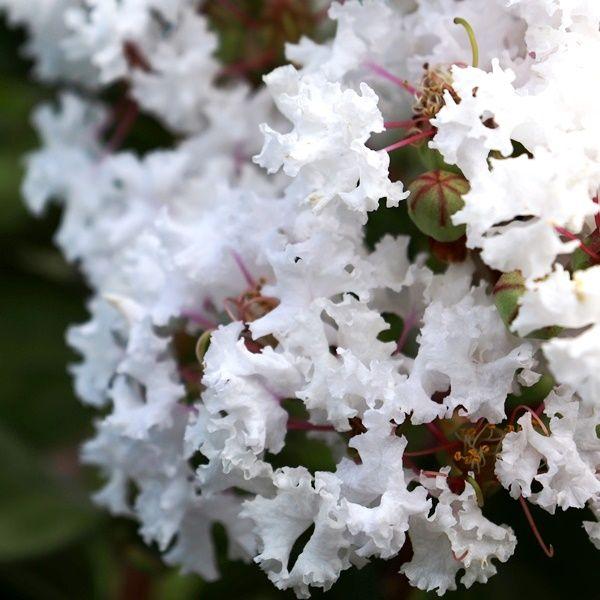 Lagerstroemia indica 'Albury White'