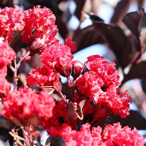 Lagerstroemia indica Best Red pbr