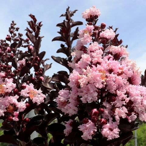 Lagerstroemia indica Blush pbr