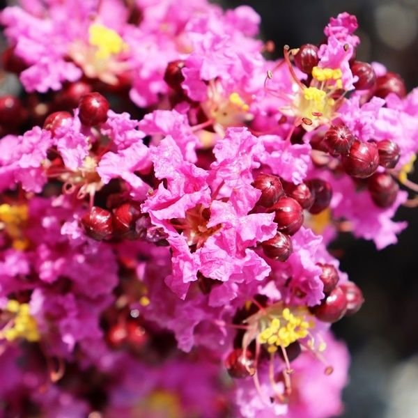 Lagerstroemia indica Lavender Lace pbr