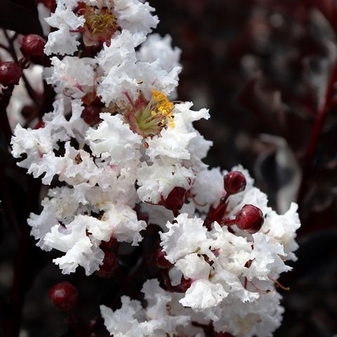 Lagerstroemia indica Pure White pbr