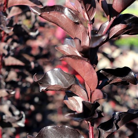 Lagerstroemia indica Red Hot pbr