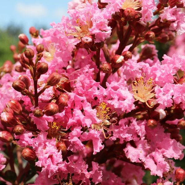 Lagerstroemia indica x fauriei 'Sioux'