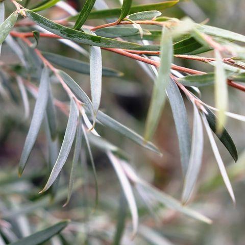 Leptospermum brachyandrum 'Jack Frost'