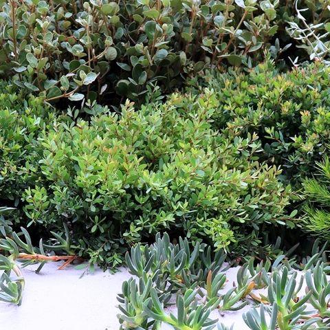Leptospermum laevigatum 'Fore Shore' pbr