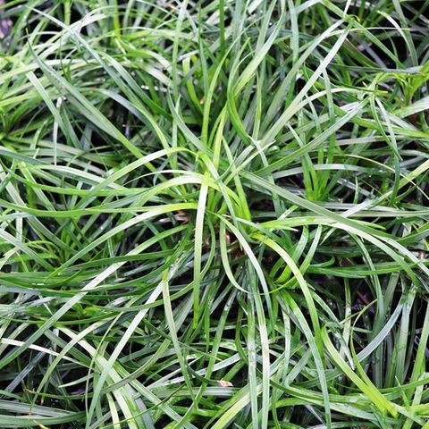 Liriope muscari 'Emerald Cascade' pbr