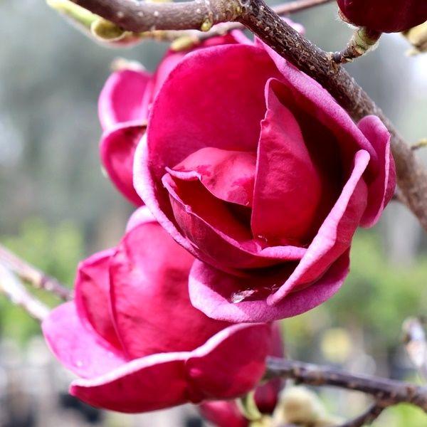Magnolia x 'Genie' pbr