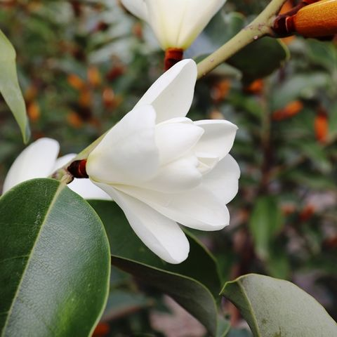 Magnolia x 'Inspiration' pbr
