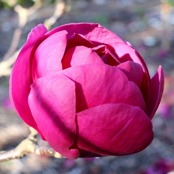 Magnolia x soulangeana 'Black Tulip' pbr