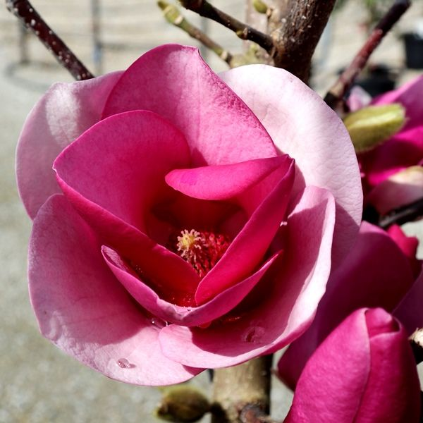 Magnolia x soulangeana 'Cameo'