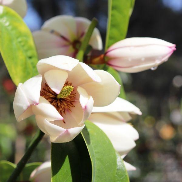Magnolia doltsopa x figo 'Bubbles'