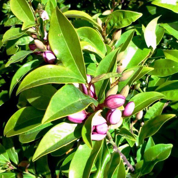 Magnolia figo