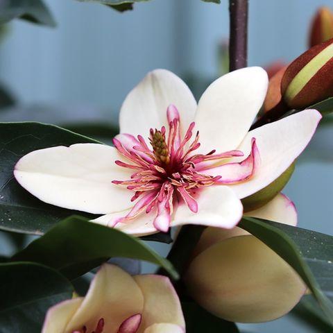 Magnolia figo x yunnanensis 'White Caviar'™ pbr