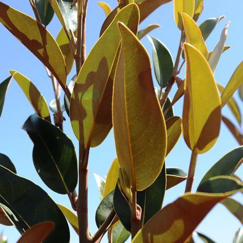 Magnolia grandiflora 'Alta' pbr