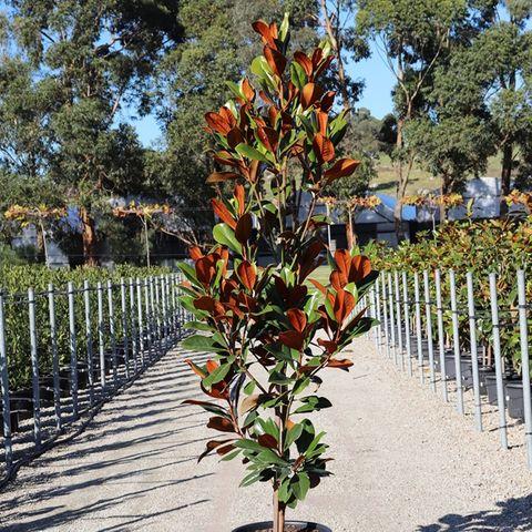 Magnolia grandiflora 'Coolwyn Gloss' pbr