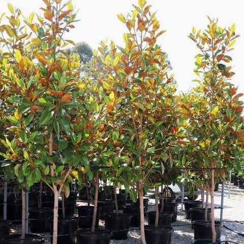 Magnolia grandiflora 'Exmouth' Pleached