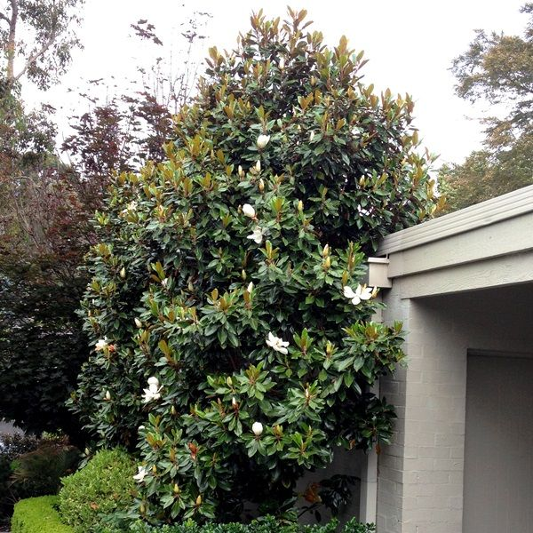 Magnolia grandiflora 'Little Gem'