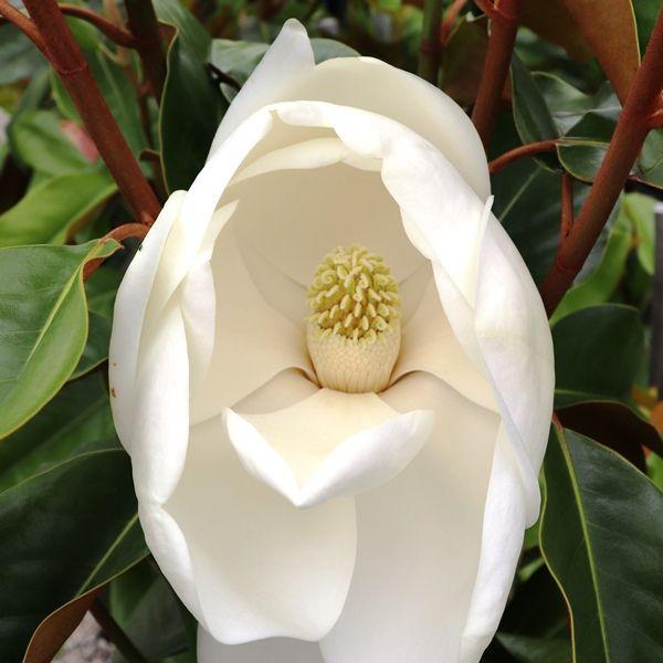 Magnolia grandiflora 'St Mary'