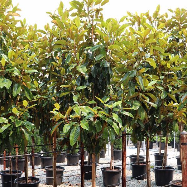 Magnolia grandiflora 'St Mary' Pleached