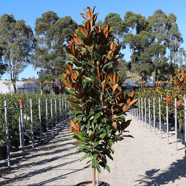 Magnolia grandiflora 'Sweet Carolina' pbr