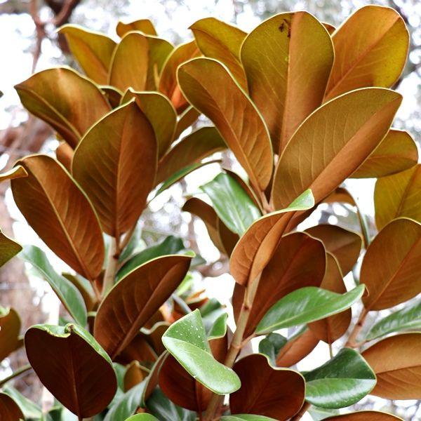 Magnolia grandiflora 'Teddy Bear'™ pbr