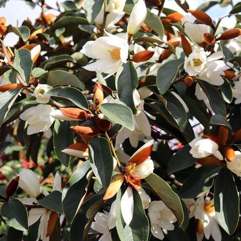 Magnolia hybrid var. 'White Fairy' pbr
