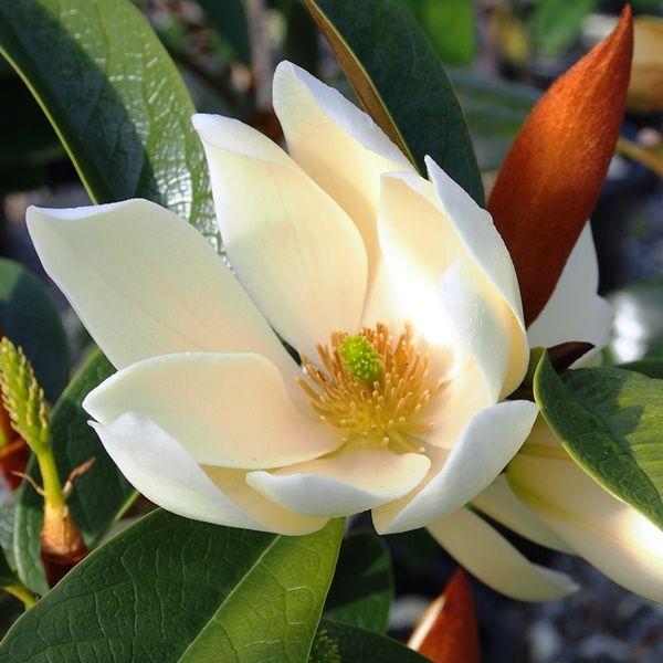 Magnolia hybrid var. 'Cream Fairy' pbr