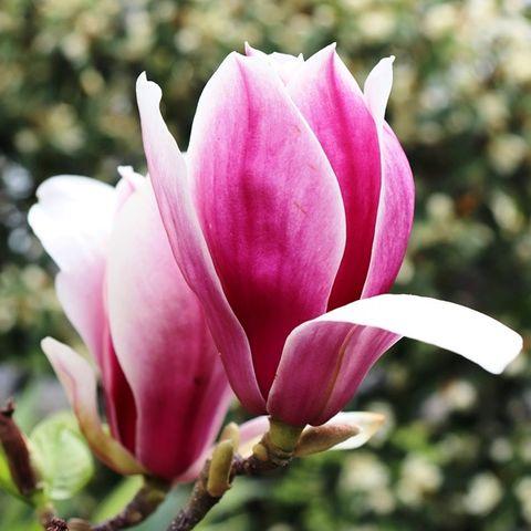 Magnolia soulangeana 'Burgundy Glow'