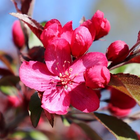 Malus transitoria 'Royal Raindrops'