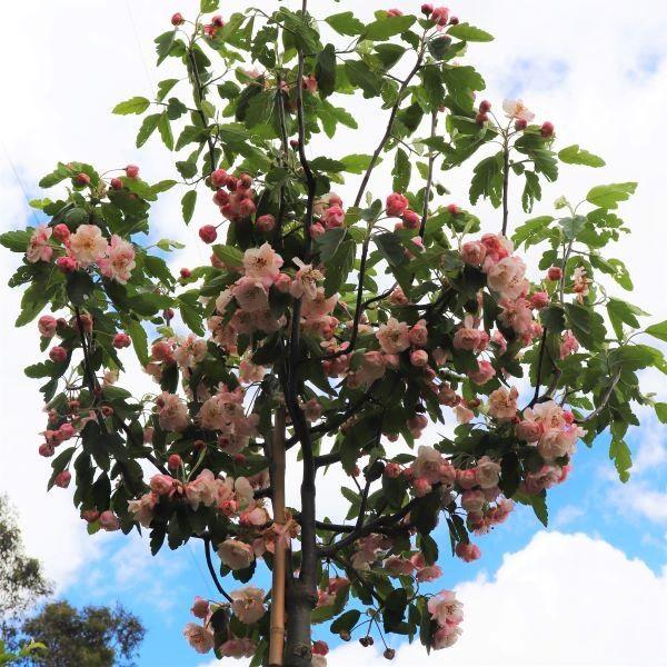 Malus ioensis 'Plena' Standard