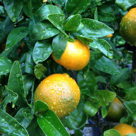 Mandarin Afourer