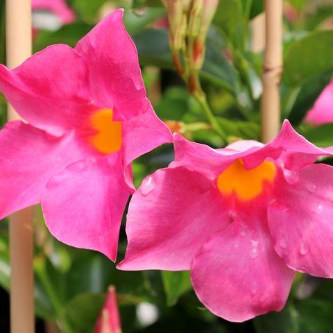 Mandevilla 'Aloha Bright Pink' pbr