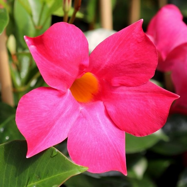 Mandevilla 'Aloha Pink Perfection' pbr