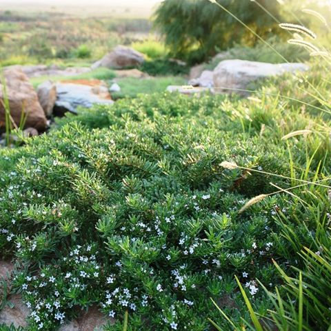 Myoporum parvifolium 'Yareena' pbr