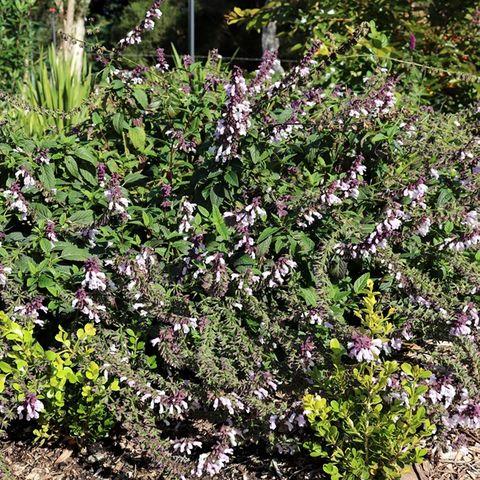 Salvia x hybrida 'Waverly'