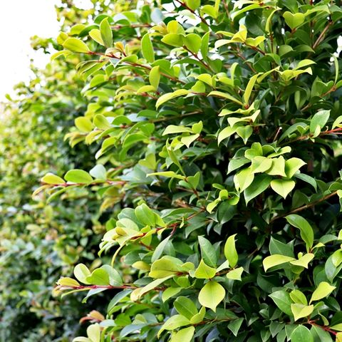 Syzygium australe 'Backyard Bliss' pbr
