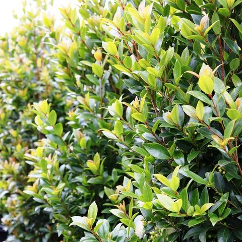 Syzygium australe 'Hinterland Gold'